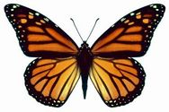 """Résultat de recherche d'images pour """"papillon empereur"""""""