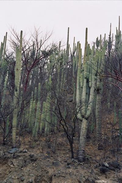 les fameux cactus