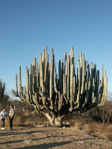 Cactus gigantesque au coeur du Mexique !