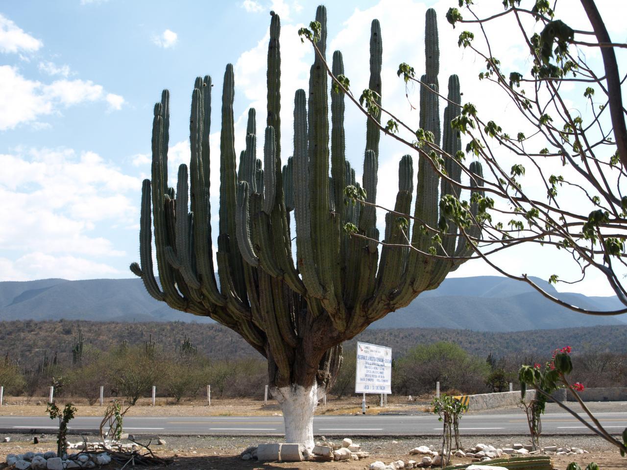 Cactus candélabre de la Sierra Madre