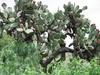 Cactus couvert de ses fruits : des figues de barbaries!