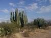 Les beaux cactus dans la région désertique du Mexique