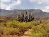 Un cactus géant dans la Sierra Madre