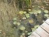 De magnifiques nénuphars dans le Yucatan