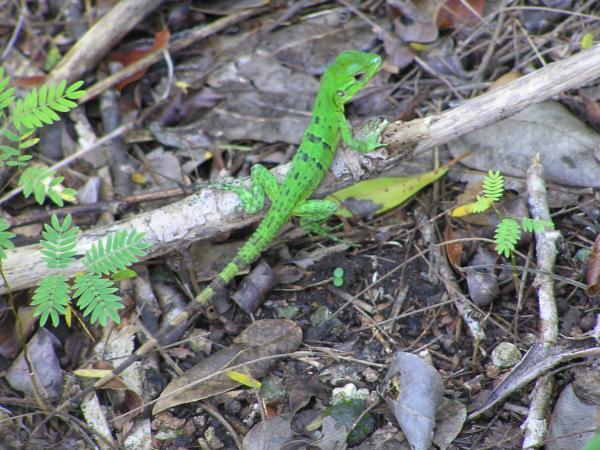 Palenque. Magnifique petit lézard vert.