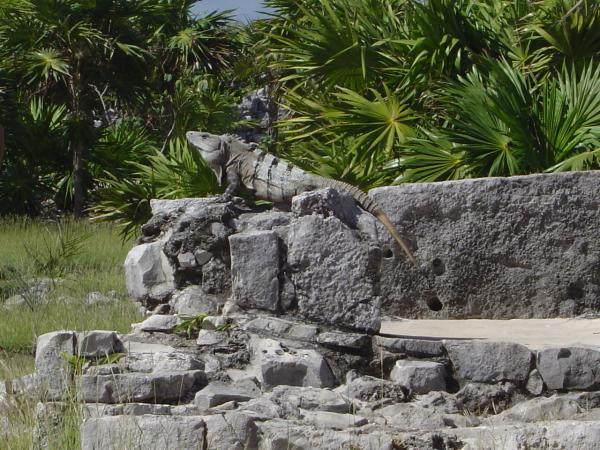 Une petite bête à Tulum : un iguane