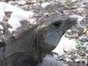 Encore un des nombreux iguanes de tulum