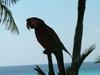 Perroquet sur Isla Mujeres