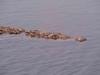 Le roi de la riviere (Ixtapa)