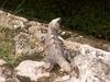 Un iguane parmi tant d'autres à Uxmal