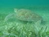 Tortue marine dans les eaux de Tulum