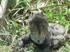 Les iguanes a Tulum ne sont pas tres farouches