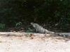Un bel iguane dans le désert mexicain