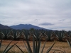 Champs d'agaves près de Tequila