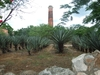 Champs d'agave  sisal
