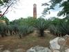 Champs d'agave à sisal