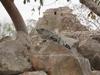 Belle prise de vue d'un iguane sur un rocher à Uxmal.