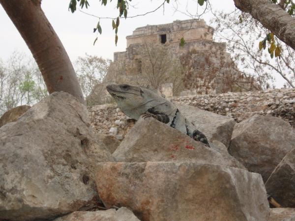 Belle prise de vue d\'un iguane sur un rocher à Uxmal.