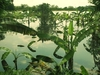Bananiers inondés
